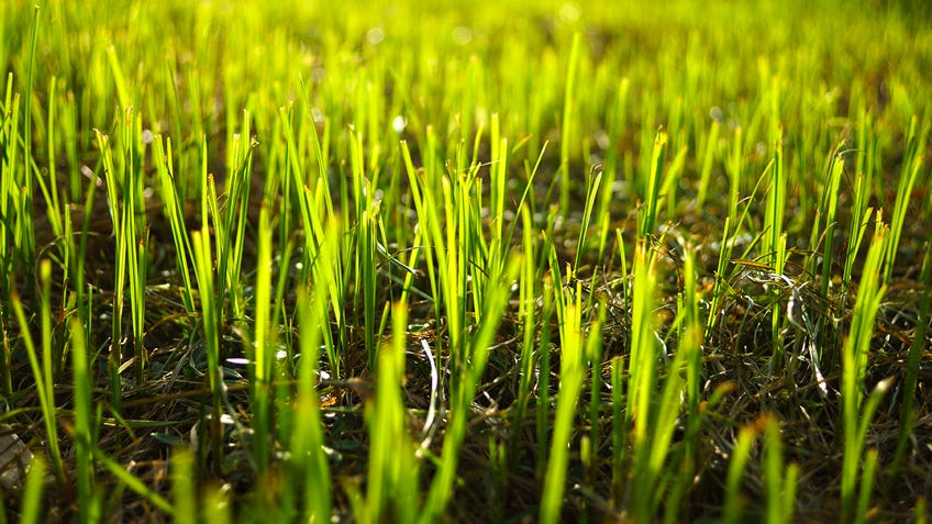 How to grow a new lawn