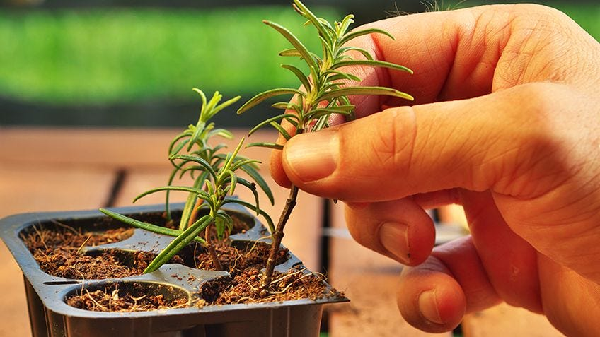 How to grow plants from garden cuttings