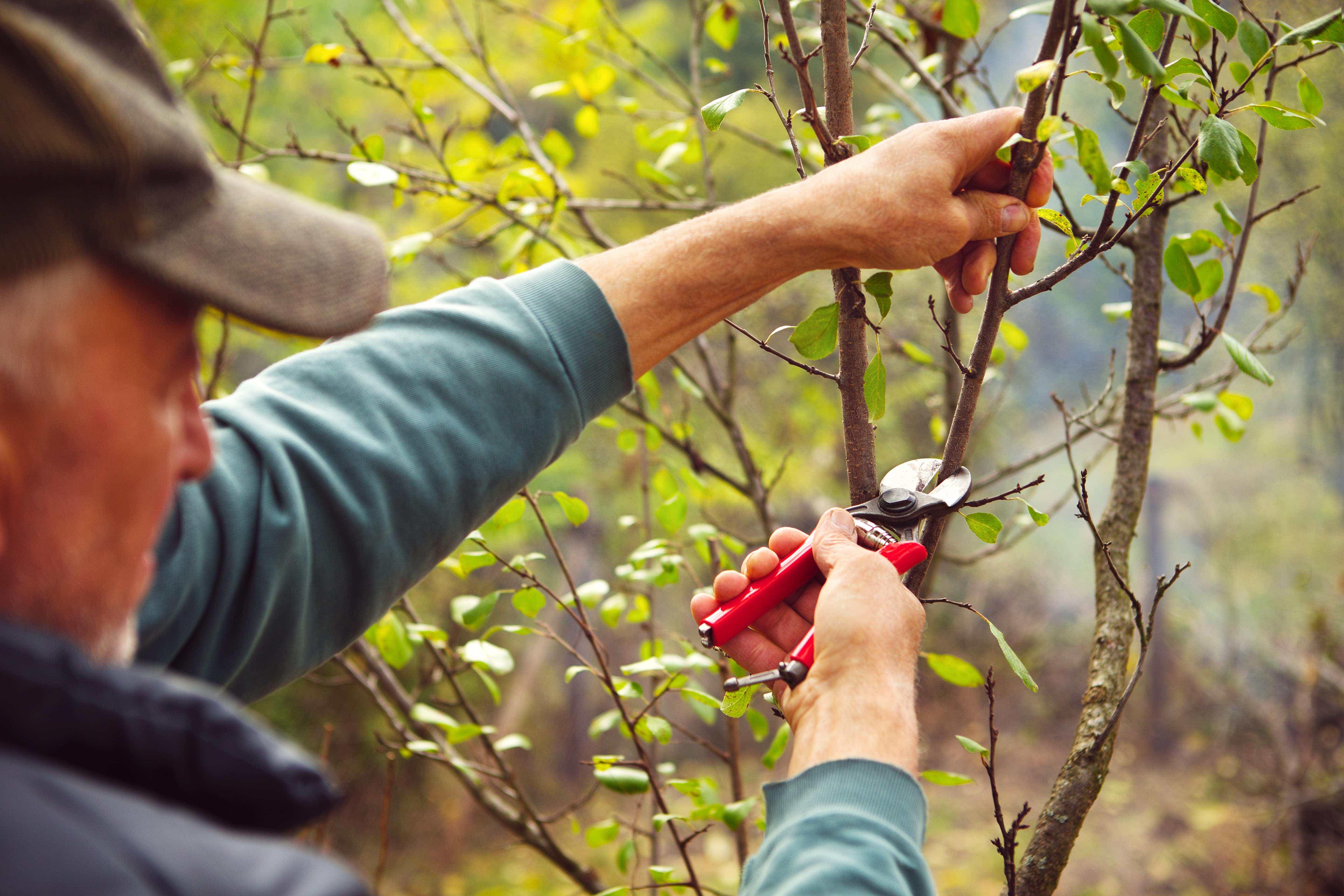 Red pruning shears used by garndener